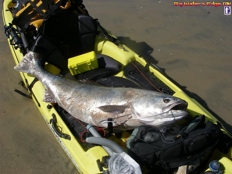 how to catch mulloway in a river